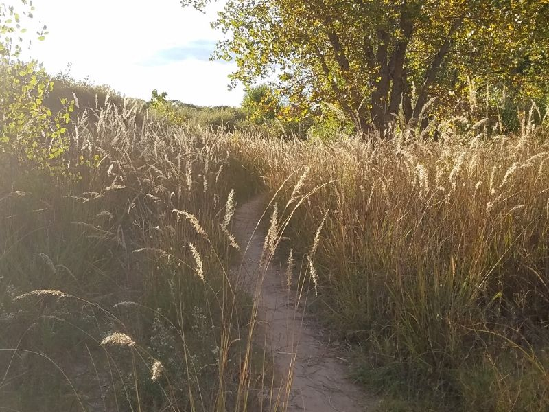 Dirt path through high grass in bright sunshine with green leaf tree in background.