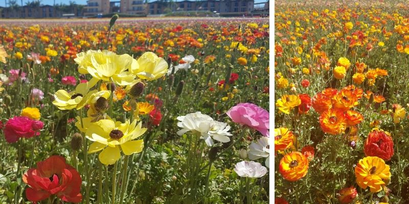 A mix of yellow, red, white, and orange flowers in a field in Carlsbad, CA