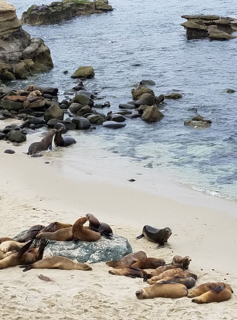 Seals and Sea Lions sunning themselves on the beach in La Jolla CA